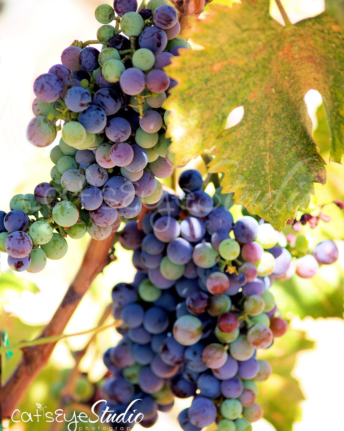 Wine Grapes Photography Multicolored Grapevine Photo Vinyard