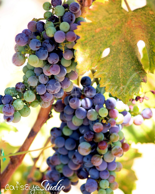 Wine Grapes Photography Multicolored Grapevine Photo Vinyard