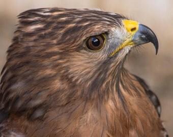 Red Shouldered Hawk. Birds of Prey. Hawks. Wildlife. Raptors. Bird of Prey Photography by Liz Bergman. Liz and Rich Photography.