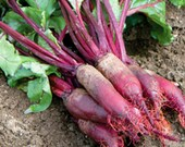 Cylindra Heirloom Beet Seeds Non-GMO Naturally Grown Open Pollinated Gardening