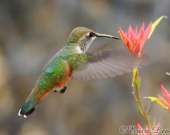 Flying Bird Photography, Rufous Hummingbird photo with red flower, nature wall art print, bird lover gift under 25