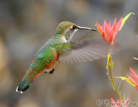 Flying Bird Photography, Rufous Hummingbird photo with red flower, nature wall art print, bird lover gift under 25