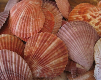 Pectin Scallop Shells (10 PC)- Seashells for Beach Decor - Wholesale Seashell Supply - Nautical Decor - Craft Shells