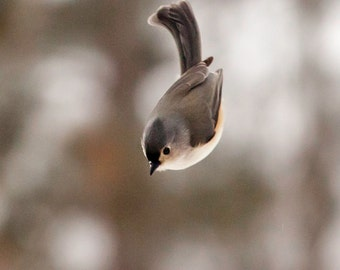 Bird Photography: The Art of Staying Aloft No. 10 Tufted Titmouse (Baeolophus bicolor)