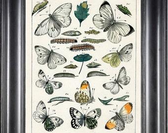 BUTTERFLY PRINT Berge 8x10 Art Print 5 Beautiful Antique Tacyptera Butterflies Caterpillars Chart Natural History Garden Nature Home Decor