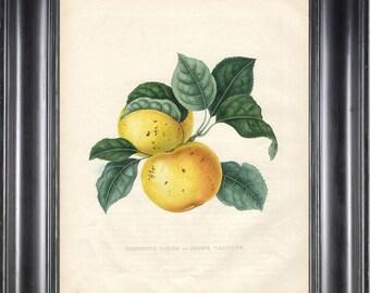 FRUIT PRINT Bivort 8X10 Botanical Art Print 2 Antique Beautiful Yellow Apple Tree Branch Leaves Home Garden Decor