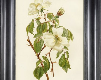 ROSE BOTANICAL PRINT 8x10 Art Print 2 Willmott Beutiful White Rose French Painting Picture to Frame Garden Home Wall Decoration