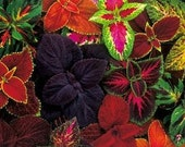 Coleus Rainbow Mix, 20 Flower Seeds, Shady Gardens, Painted Leaves