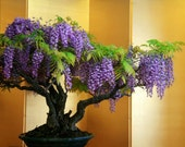 Chinese Wisteria Bonsai Tree Seeds, Very Fragrant, Purple Variety Flower