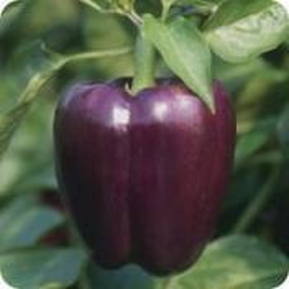 Heirloom Purple Beauty Pepper, Grown on our Farm, Non GMO, 10 Seeds, Cheapseeds