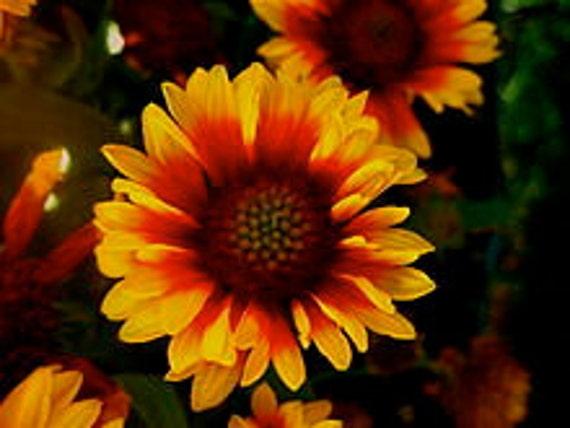 Gaillardia, Blanket Flower, Indian Blanket, Flower Seeds, Perennial, Attract Butterflies, 25 Seeds