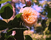 """Pretty In Pink Ethereal Rose Print Soft Focus 8"""" x 10"""" Matte Fine Art Photograph"""