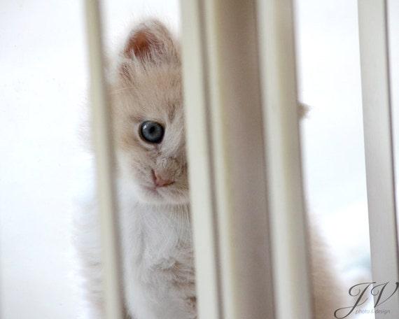 Pet Photography Blue Eyed Kitten Portrait Print