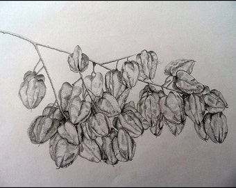 Tree twig. Pencil on paper