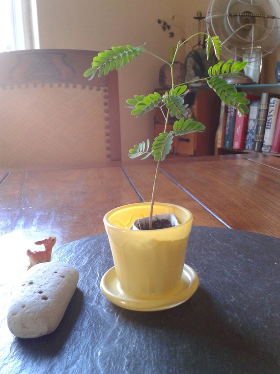 tiny yellow planter:  fired on yellow vintage flower pot