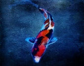 "Fine Art Print KOI 50x50 cm 20""x20"" The elegant red black and white coloured fish in a deep vibrant blue is typical for japanese tradition"