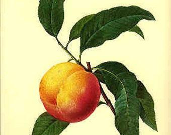 Redoute Botanical Print -  - Peach - 94