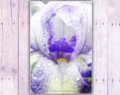 Purple and white iris -  8x12 Fine Art Photography - TorriPhoto