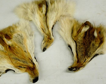 Red  and  grey  Coyote   head