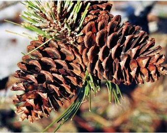 Fresh Natural Pine Cones Clean and Dry