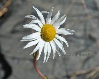 A Daisy Stands Alone, Flower, Daisy, Macro, Landscape, Nature Photography, 8x10 Photograph, Fine Art