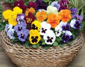 0.2g (approx. 200)  mixed color  pansy seeds VIOLA WITTROCKIANA blooming all the season