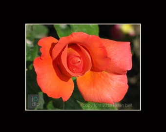 Orange Rose at Rodin Museum, Flower Photography Print, 8x10 matted to 11x14, or 5x7 matted to 8x10, Home Décor, Wall Art
