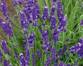30 Lavendula LAVENDER FLOWER SEEDS / Easy to Grow Perennial