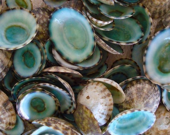 Green Limpet Seashells (appx. 25 pcs.) - Sutorria Mesoleuca