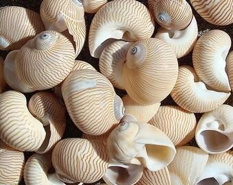 Lined Moon Snail Seashells (appx. 15 pcs.) - Natica Lineata