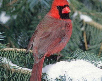 Cardinal Male 5x7 Matted Red Bird Photograph, Wildlife Nature Photo, Wild Animal Print, Snow Scene Photo, Winter Wall Art
