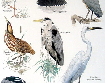 Birds - Cattle Egret, Black Heron, American Bittern, Great Egret - Vintage 1980s Bird Book Plate Page