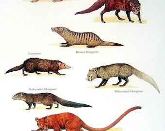 Mongoose - Indian Mongoose, Cusimanse, Marsh Mongoose, Banded Mongoose - Vintage 1980s Book Plate Page