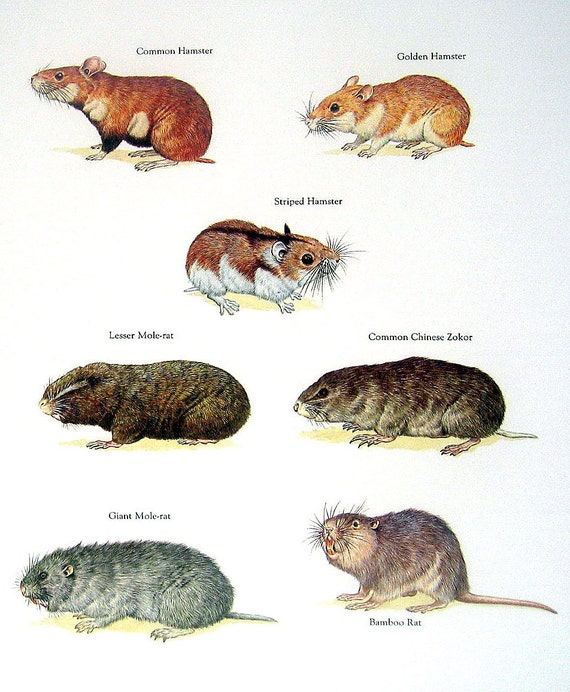 Hamsters Mole Rats Common Hamster Lesser Mole Rat Bamboo