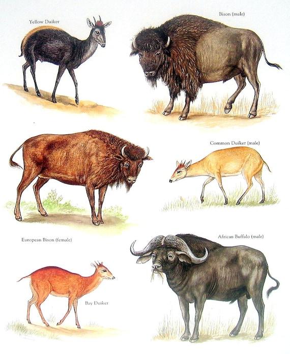 bison africa