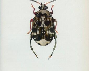 Vintage beetle Print, Pea Weevil (143) Vladimir Bohac, 1965, Bug Creepy Crawly, Frameable Art