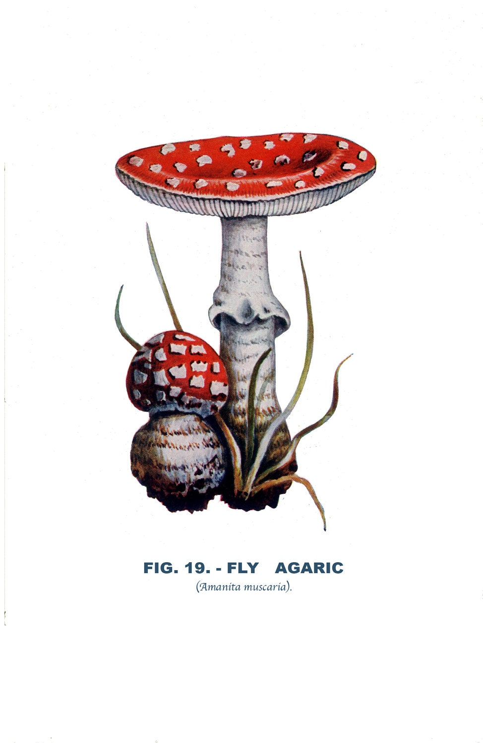 Fly Agaric Drawing Fly Agaric Fungus 19