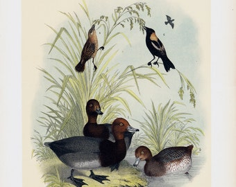 1881 Large antique duck print, birds of NORTH AMERICA, Wild ducks, 131 years old gorgeous print.