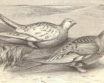 1904 Original Antique Engraving of Gamebirds, Common Pheasant, California Quail, Common Quail, Pallas's Sandgrouse