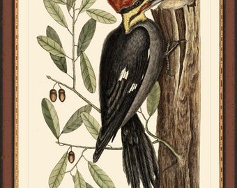 PILEATED WOODPECKER - Catesby  bird print reproduction -  1749