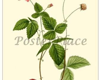ART CARD - Arctic Raspberry botanical print reproduction 310