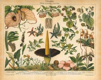 Botanical Print Pollination Antique Color Lithograph, Gardening,  Entomophilous Plants