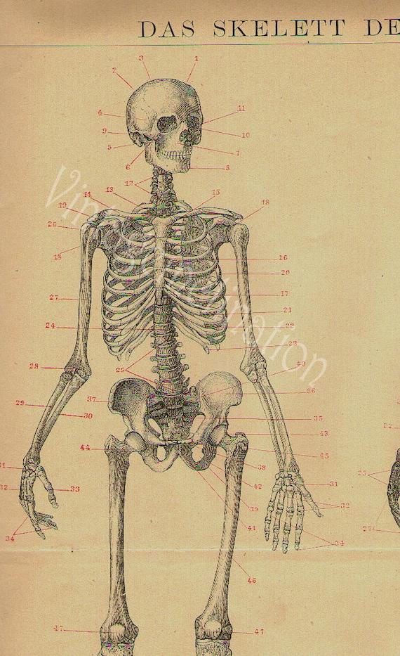 REDUCED - 1894 Human Anatomy Print, SKELETON bones