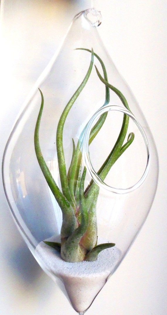 Hanging glass air plant terrarium tillandsia in teardrop terrarium