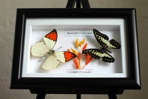 Artistic mounted butterflies, insect display, organic wall decor