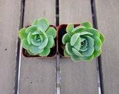 Echeveria Blue Rose, Echeveria Imbricata