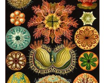Sea Urchins Print, Poster, Ernst Haeckel,  Art Nouveau Sea Life Print, Vivid Colors on Black, Coastal Decor, Beach Art, Colorful Sea Art
