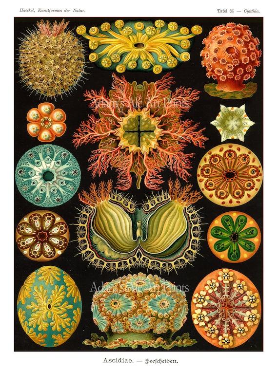 Sea Urchins Print, Poster, Ernst Haeckel,  Art Nouveau Sea Life Print, Vivid Colors on Black, Coastal Decor, Beach Art, Christmas Gift Idea