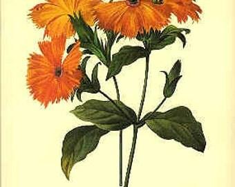 Redoute Botanical Print -  - Lynchis - 75