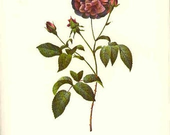 Redoute Botanical Rose Print  13